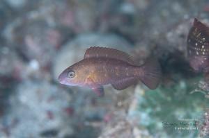 ハゲブダイ 幼魚(2cm)