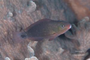 ハゲブダイ 若魚(3-4cm)