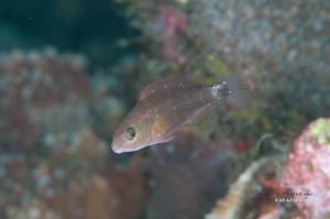 ハゲブダイ 幼魚(1.5cm)