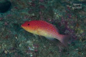 オジロバラハタの若魚