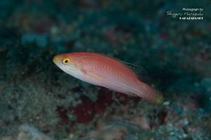 クレナイイトヒキベラの成魚