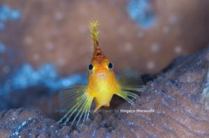 オキゴンベの若魚
