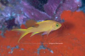 何やら背中を齧られたスミレナガハナダイの若魚