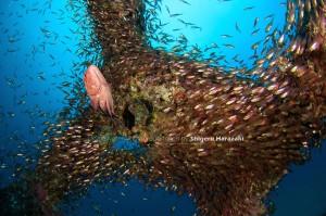 漁礁のアザハタたちはどんどん成長している。。。