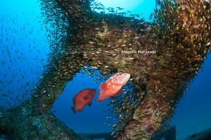 今年の漁礁はキンメモドキもイマイチ集まりが悪い。。。