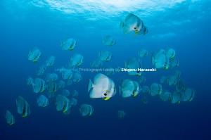 漁礁の上層には70匹くらいのツバメウオが群れていた。夏っぽい海。(^^)