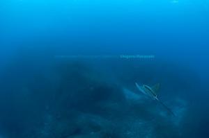 この時期はマダラトビエイが目立つ。よくコバンザメがついている。
