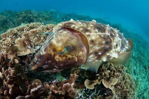 1か月ほど前から卵が目立ち始めていたコブシメだったが、産卵の観察は今季初。