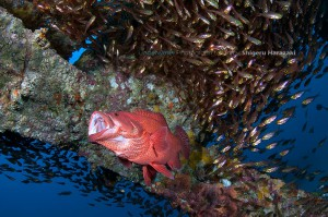 漁礁のアザハタ