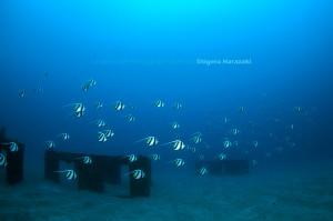 漁礁のムレハタタテダイ