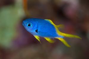 モンスズメダイ近似種の幼魚