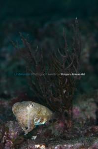 ミニチュア・サイズのコブシメ