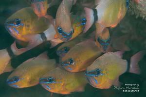 ペアにならずに群れる成魚たち