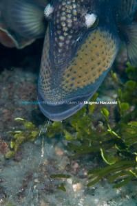 オキザヨリの卵を食べるゴマモンガラ2
