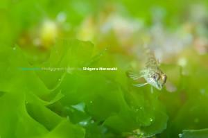 緑の海藻とヘビギンポのチビは今が旬!