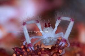 抱卵中のクダヤギクモエビ