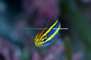 Theキツネウオの幼魚