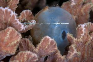 孵化後のコブシメの卵(抜け殻)