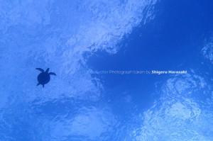 空飛ぶアオウミガメ