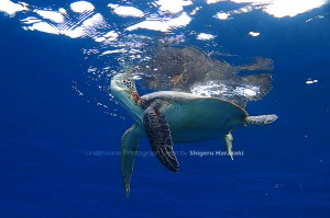 アオウミガメ息継ぎ