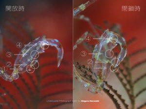 ワレカラの鎌状胸脚の機能美