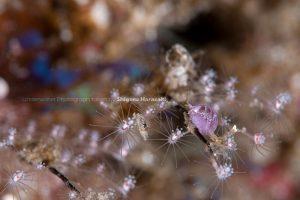 綺麗な紫色のヨコエビの仲間