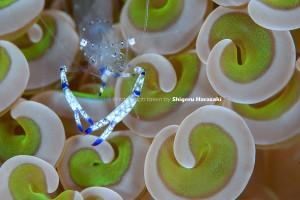 このナガレハナサンゴが結構綺麗!