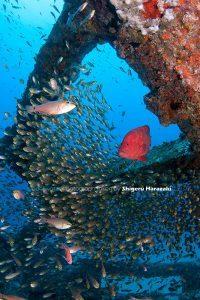 漁礁のアザハタ&キンメモドキ