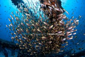漁礁のキンメモドキ