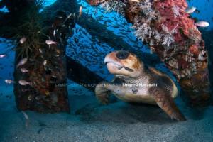 漁礁で寝ていたアカウミガメ
