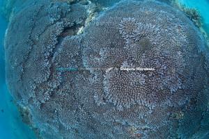 香附子の美しいミドリイシサンゴ類の群体