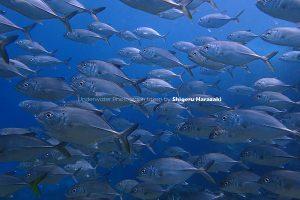 浅場にはギンガメアジの若魚群れが。。。