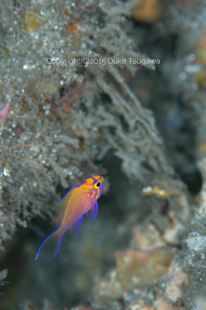 ハナゴンベの極小幼魚がまた。。。