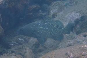 シロブチハタの若魚