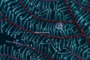 ヤギモドキウミヒドラの仲間のクラゲ体