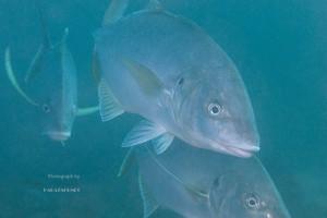 シマアジ成魚の群れ