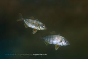 流れ藻の下には小魚がいっぱい!
