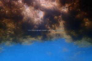 流れ藻を水中で下から見るとまるで黒い雲のようだ。。。
