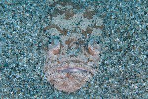 砂に埋もれるメガネウオ