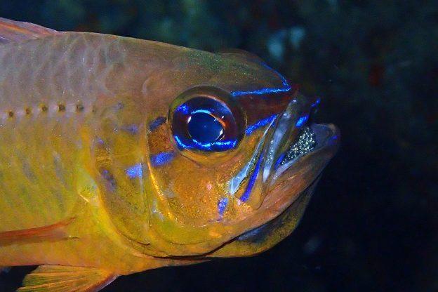 口内保育中のアオスジテンジクダイ