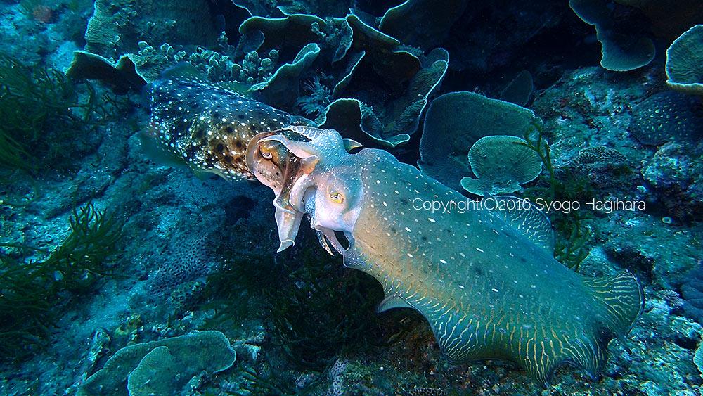 季節外れのコブシメの交接