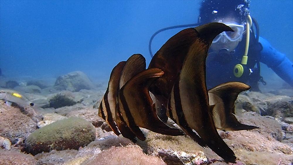 浅場でオロオロ。。。ツバメウオの若魚たち
