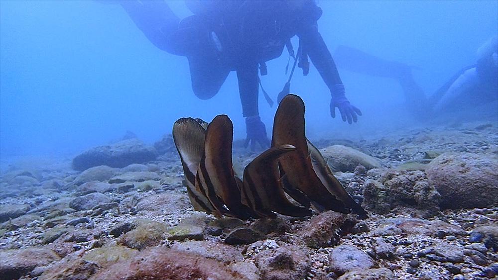 浅場で群れるツバメウオの若魚たち