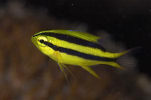 ヒレナガスズメのスケルトン幼魚って?
